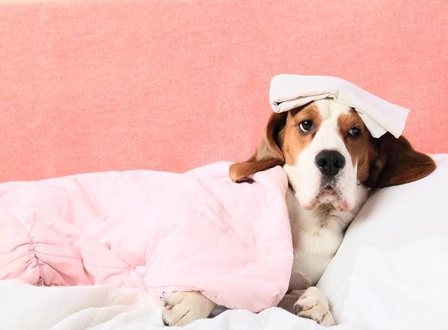 Cachorro-doente-em-repouso - Cópia